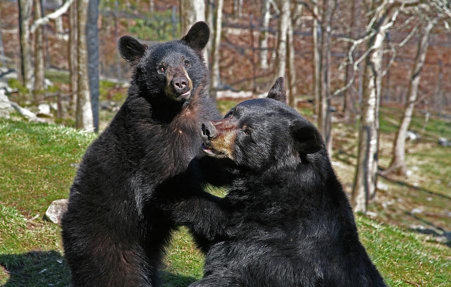 Animals.bears Photograph - Playtime by Karol Livote