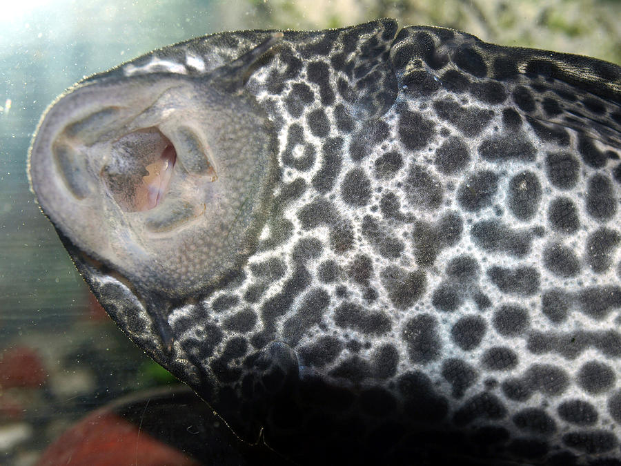 Plecostomus Mouth by Tarey Potter