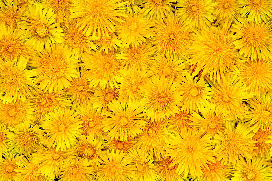 Plenty of yellow spring flowers dandelions photograph by jacek dandelion photograph plenty of yellow spring flowers dandelions by jacek sopotnicki mightylinksfo