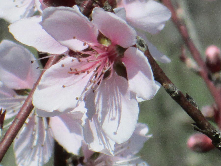 Flower Photograph - Plum Bloom by Rosalie Klidies