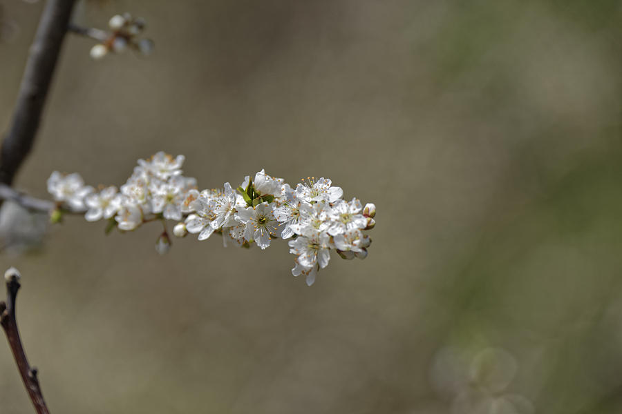 Apple Photograph - Plum blossom provocative by Adrian Bud