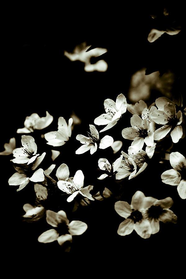 Plum Blossoms Photograph - Plum Blossoms by Frank Tschakert