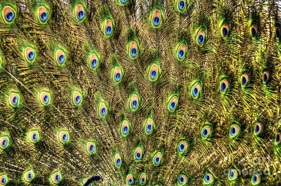 Peacock Photograph - Plumage by Chris Fleming