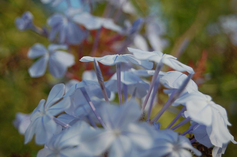 Plumbago Photograph - Plumbago Puffs by Jean Booth