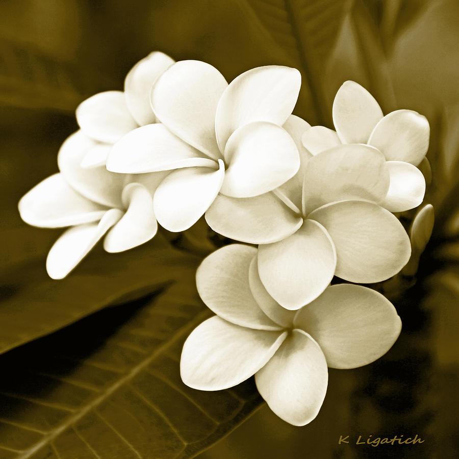 Plumeria Photograph - Plumeria - Brown Tones by Kerri Ligatich