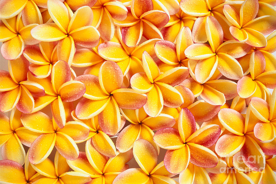 Bed Photograph - Plumeria Flowers by Kyle Rothenborg - Printscapes