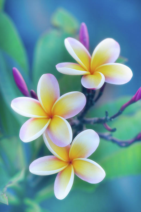 Floral Photograph - Plumerias in Pastel by Jade Moon
