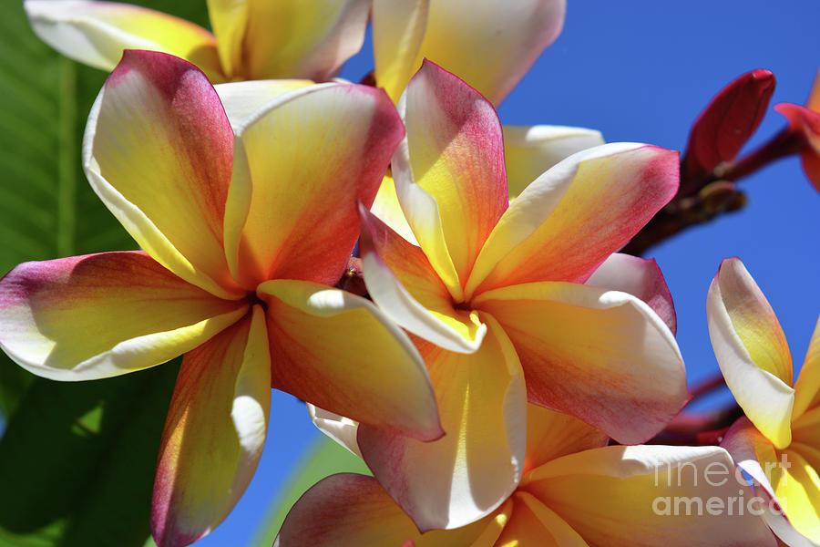 Frangipani Photograph - Plumeria by Josie Elias