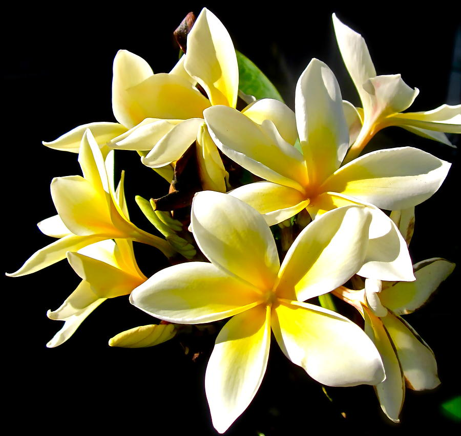 Photograph Of Plumeria Photograph - Plumeria Proper by Gwyn Newcombe