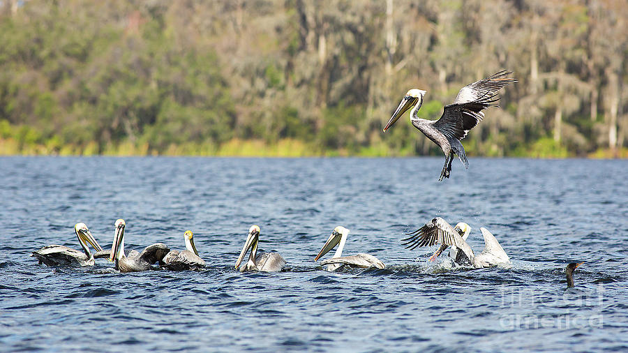 Pod of Pelicans by Brad Marzolf Photography