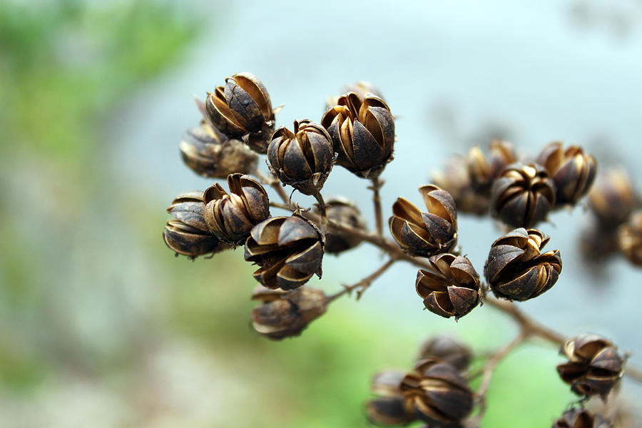 Crape Myrtle Photograph - Pods by Evelyn Patrick