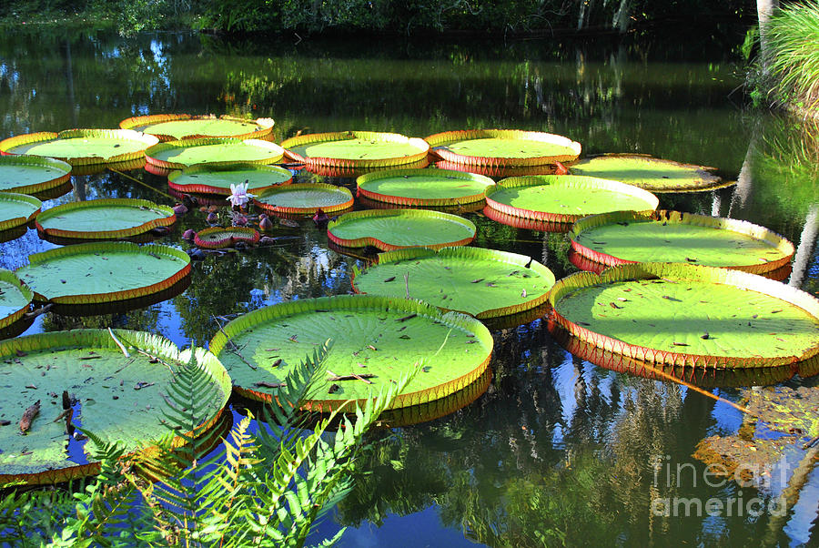 Pods Photograph - Pods Of The Pond by Jost Houk