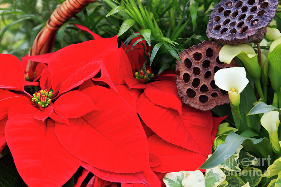 Red Photograph - Poinsettia Basket For Christmas by Jill Lang