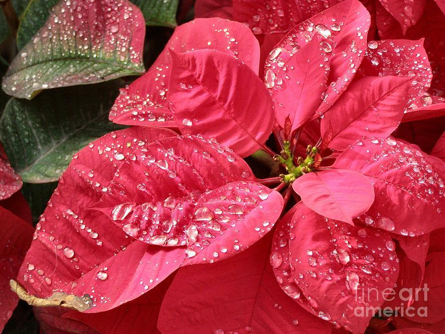 Poinsettia Photograph - Poinsettia Christmas Dew by Kathy Daxon