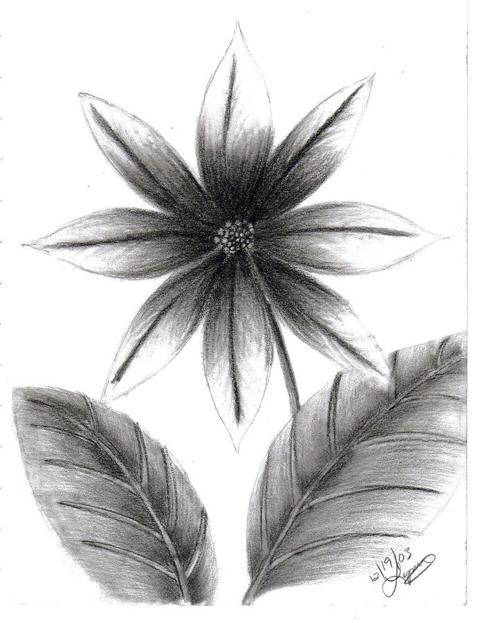 Poinsettia Drawing by Lynnette Jones