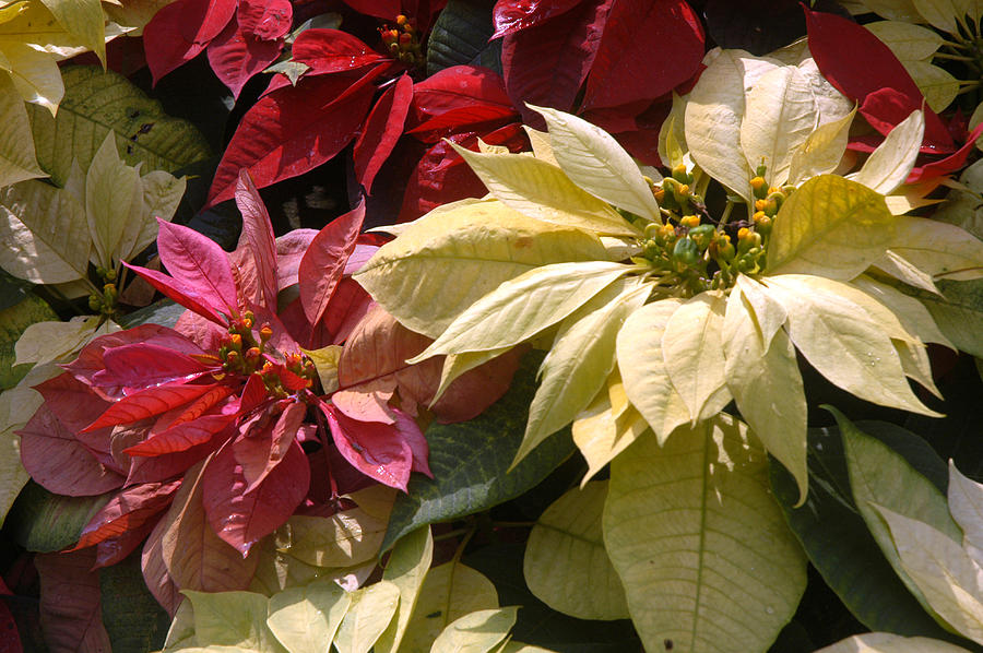 Doi Tung Palace Photograph - Poinsettias At Doi Tung Palace by Anne Keiser