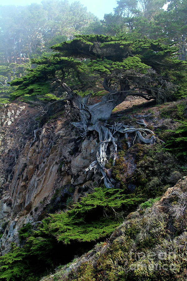 Landscape Photograph - Point Lobos Veteran Cypress Tree by Charlene Mitchell