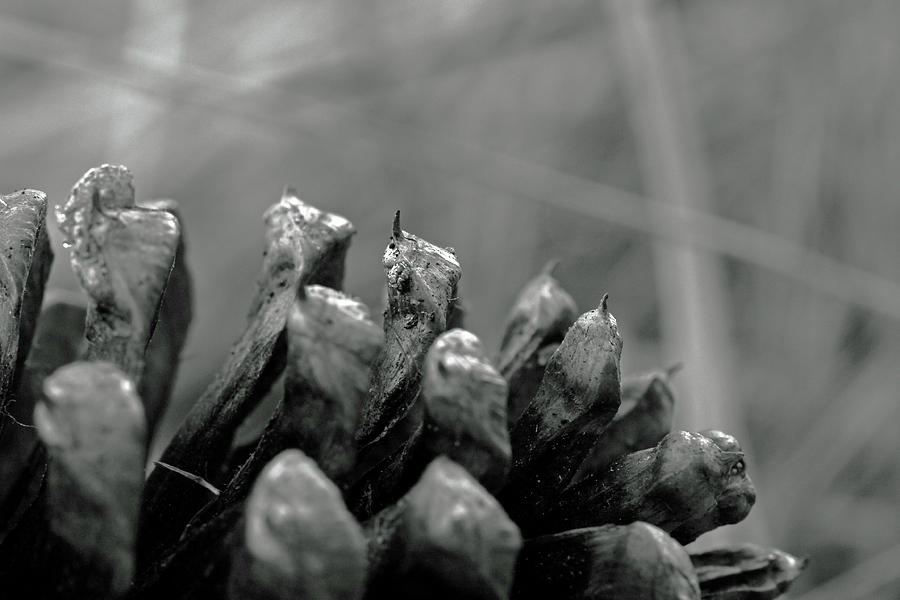 Abstract Photograph - Pointy Pinecone Macro by Gretchen Friedrich