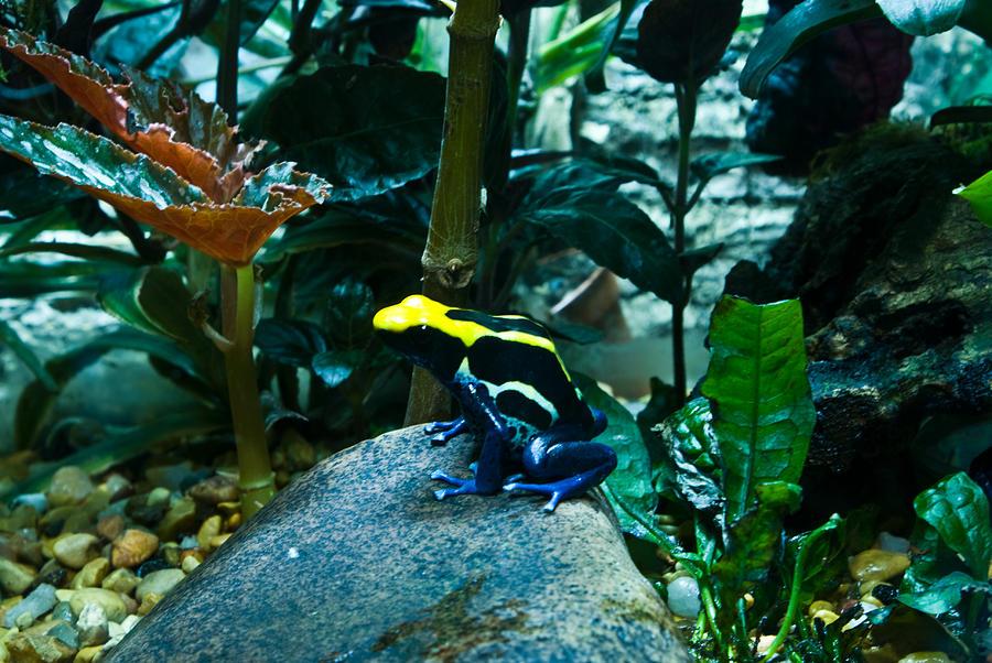 Poison Photograph - Poison Dart Frog Poised For Leap by Douglas Barnett