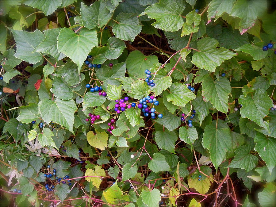 Berries Photograph - Poisonous Snozzberries by Jacqueline Cappadora