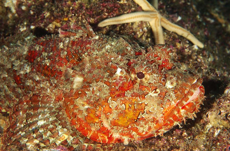 Sea Of Cortez Photograph - Poisonous Stone Fish, Scorpaena Mystes by James Forte