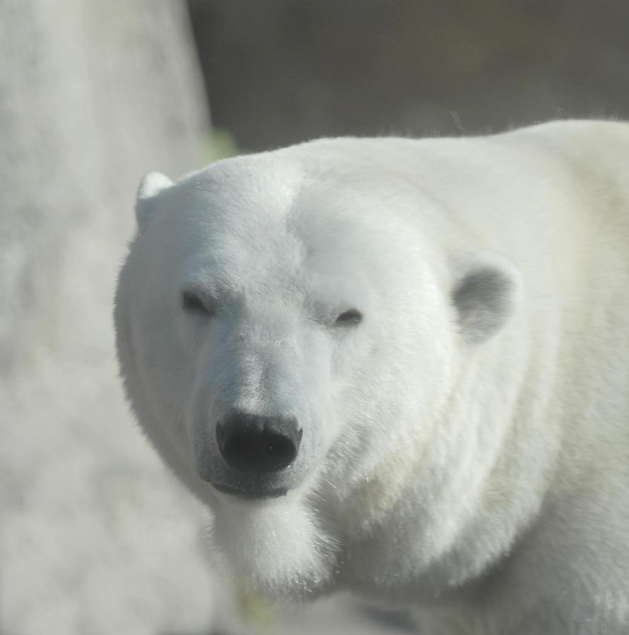 Polar Bear Glass Art - Polar Bear by Curtis Gibson
