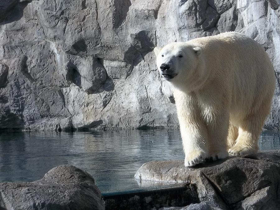 Polar Bear Photograph