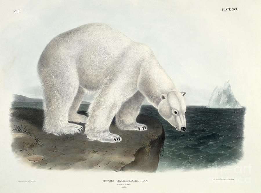Arctic Painting - Polar Bear by John James Audubon