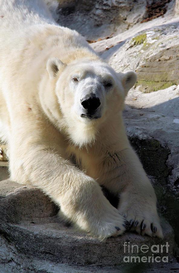 Bear Photograph - Polar Bear by Karol Livote