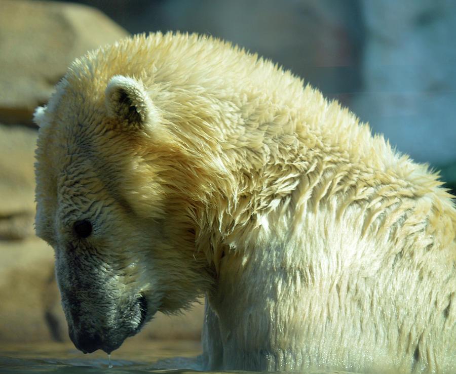 Polar Bear Photograph - Polar Bear by Linda Benoit