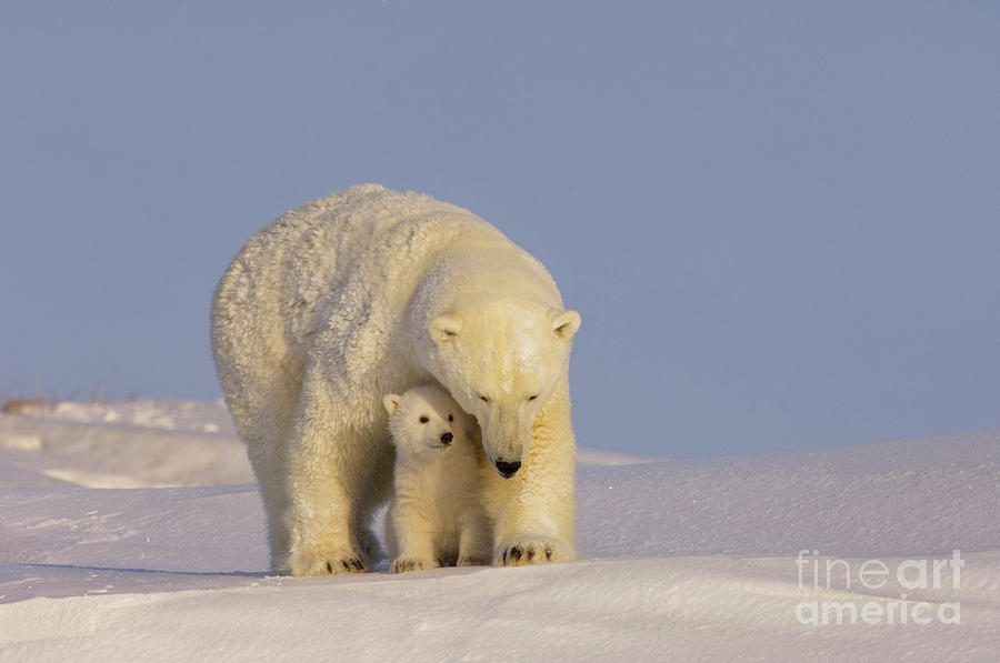 Polar bear mother and cub by Steven Kazlowski