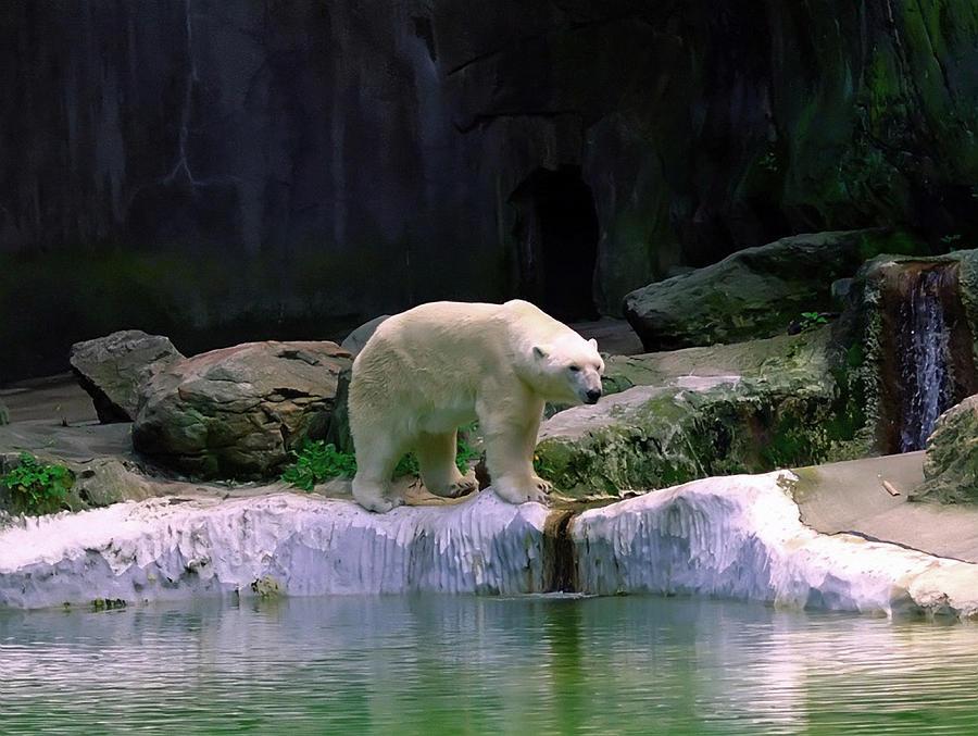 Bear Photograph - Polar Bear by Pat Carosone