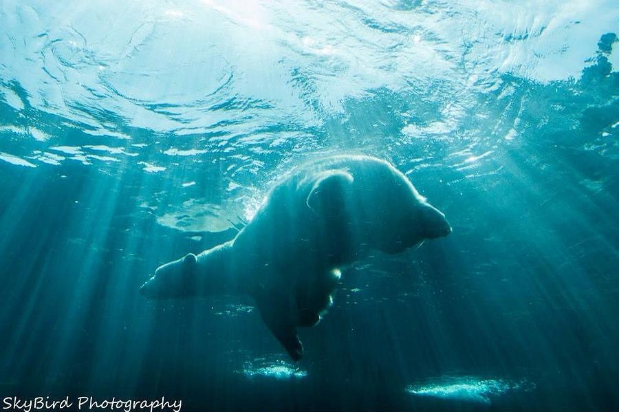 Pittsburgh Zoo Photograph - Polar Bear Swim by Megan Miller