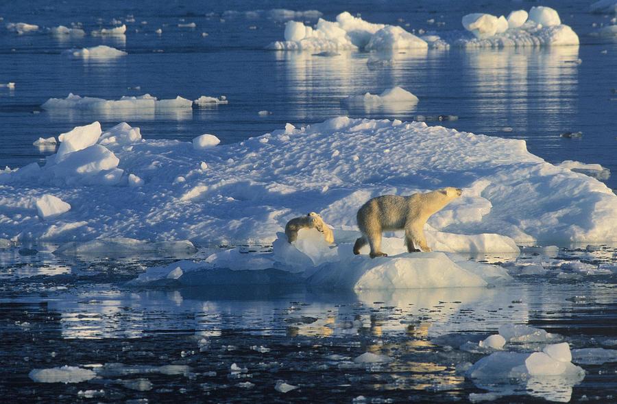 Fn Photograph - Polar Bear Ursus Maritimus Adult by Rinie Van Meurs