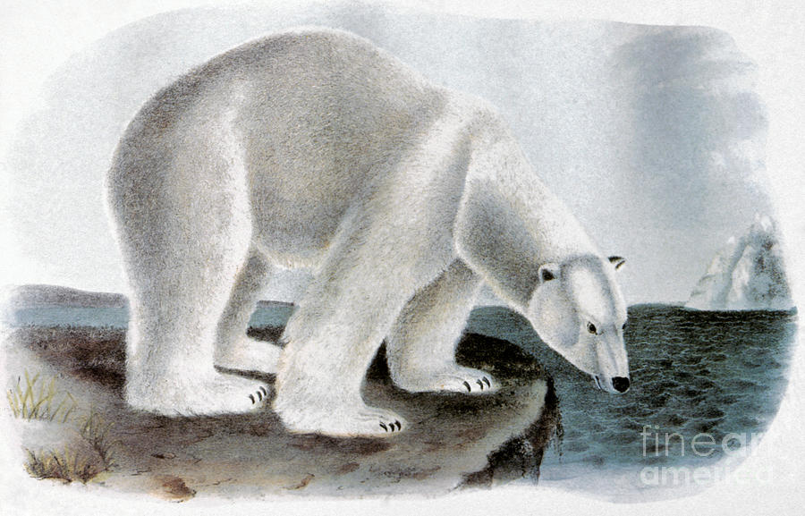 1846 Photograph - Polar Bear (ursus Maritimus) by Granger