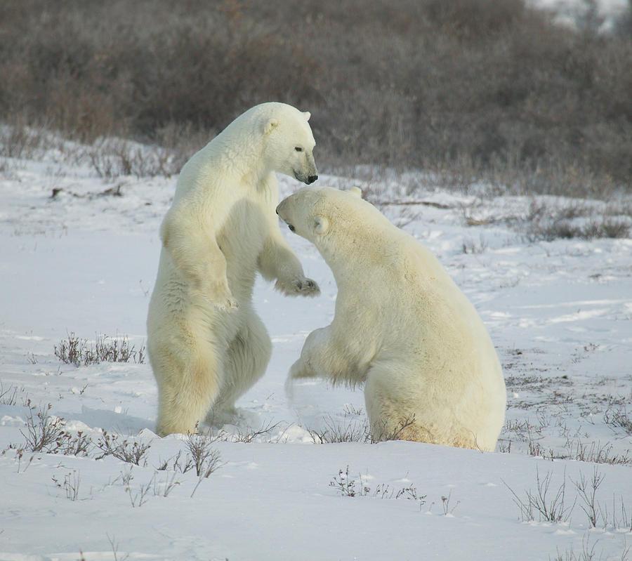 Polar Bears jousting by Ralph Fahringer