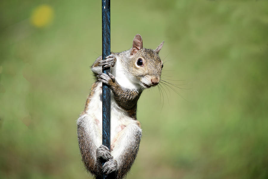 Squirrel Photograph - Pole Dancer 283 by Ericamaxine Price