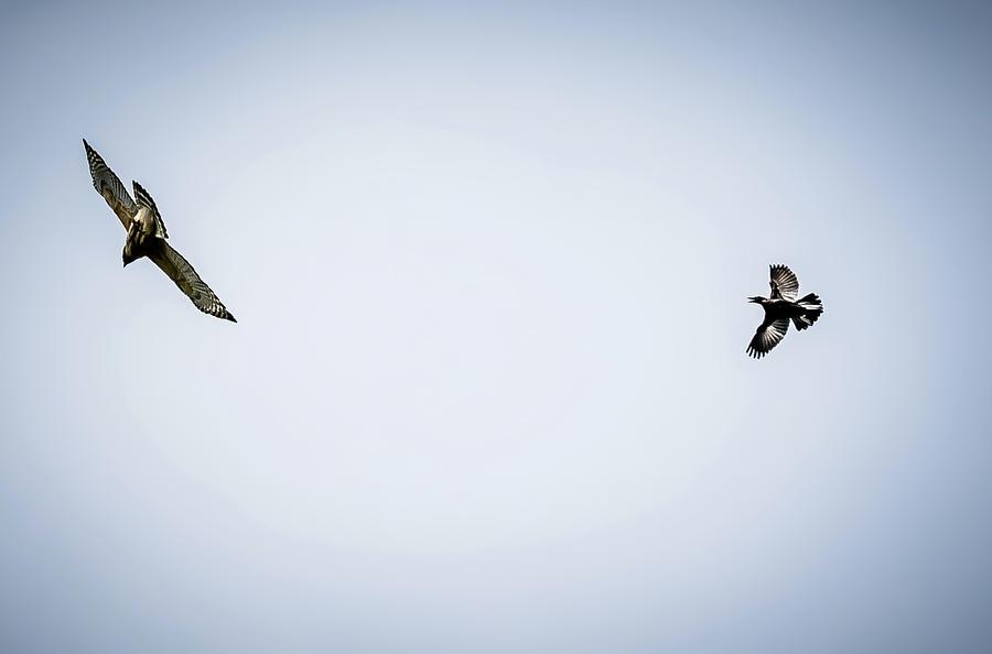 Hawk Digital Art - Police Bird Chasing Away Predator by Ed Stines