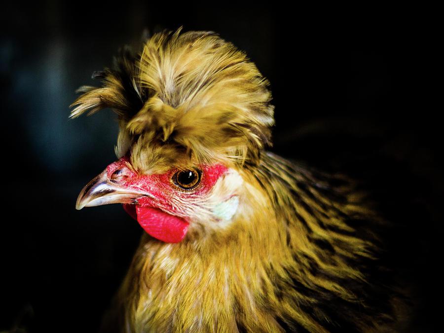 Chicken Photograph - Polish Hen by Chance Kirby
