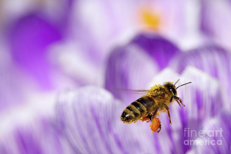 Honeybee Photograph - Pollen Collector by Sharon Talson