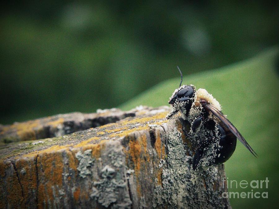 Been Photograph - Pollen Dusted Bee by Amanda Wimsatt