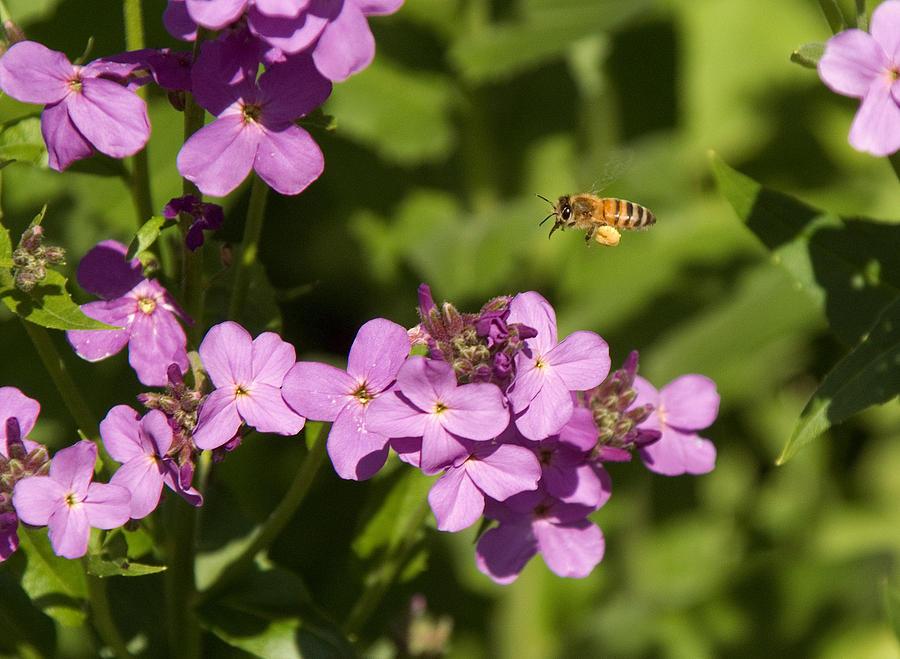Pollen Photograph - Pollen Farmer by Bob Mintie