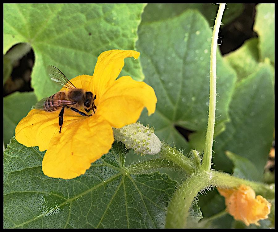 Bees Photograph - Pollinating Cucumbers 2  by Daniele Smith