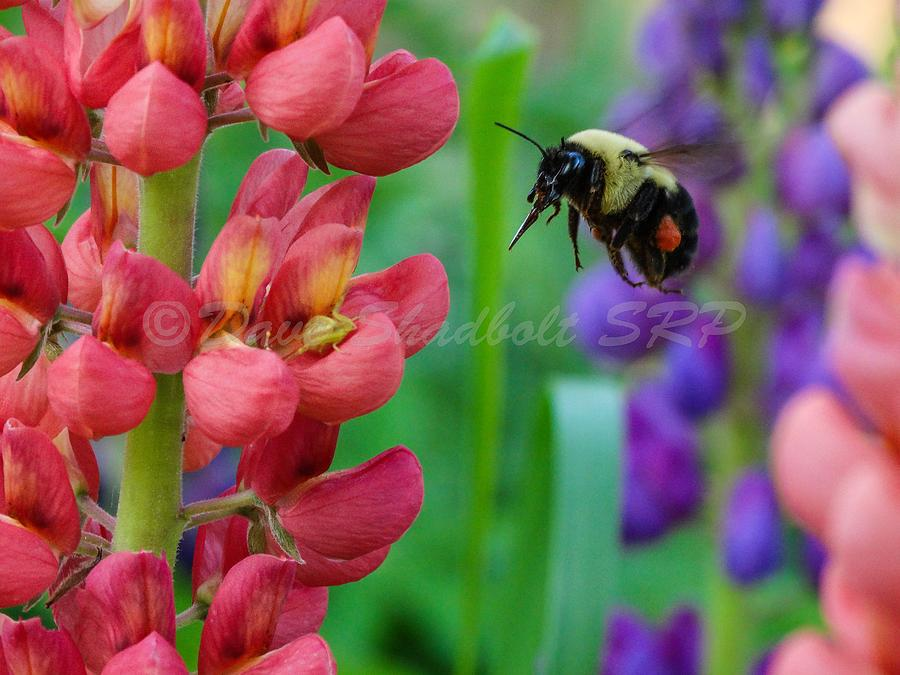 Bee Photograph - Pollination by Dave Shadbolt