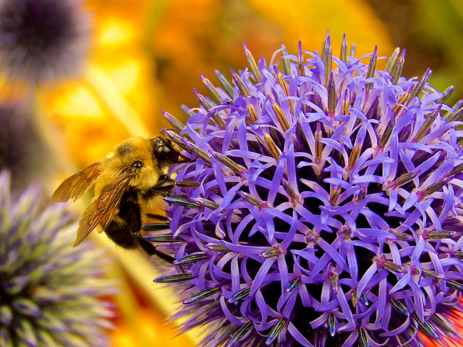 Bees Photograph - Pollination by Kathi Isserman