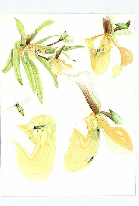 Orchid Painting - Pollination Of Paphiopedilum Villosum by Darren James Sturrock