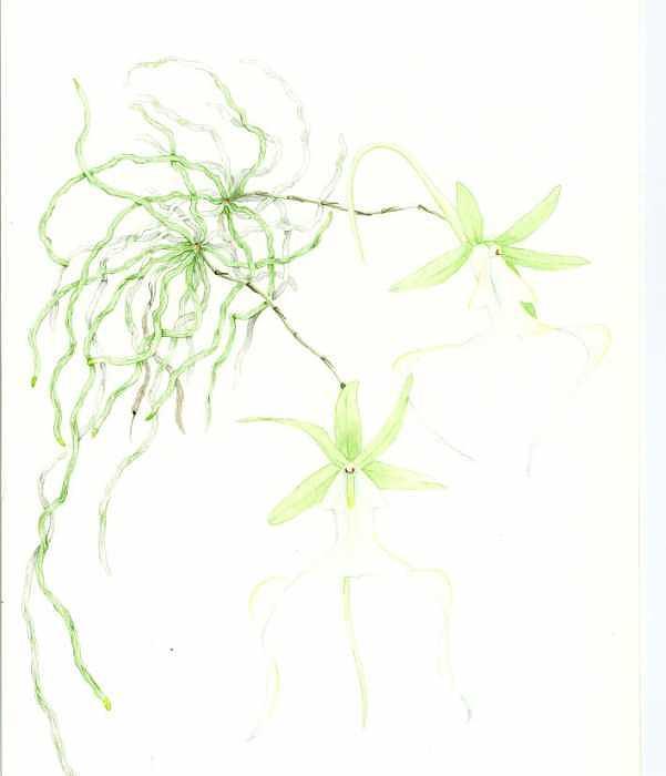 Botanical Orchid Painting - Polyrhizia Lindenii by Darren James Sturrock