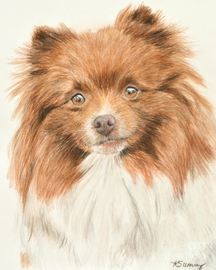 Pomeranian Orange Parti-colored by Kate Sumners