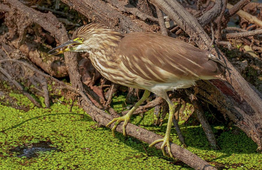 Pond Photograph - Pond Heron With Fish  by Manjot Singh Sachdeva