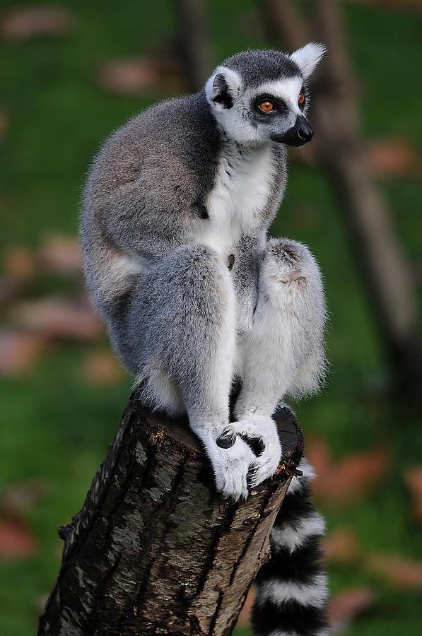 Lemur Photograph - Pondering by Alessandro Matarazzo